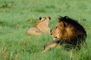 Lion-13