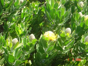 CapePoint_Proteas