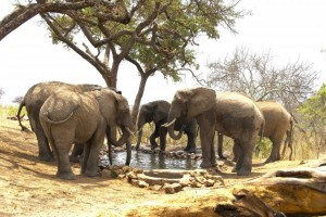 Elephants drinking at water hole- Tarangire Treetops