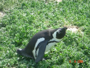 Penguins_06